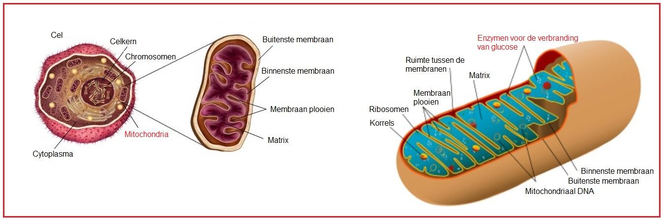 Afbeeldingsresultaat voor mitochondriën.