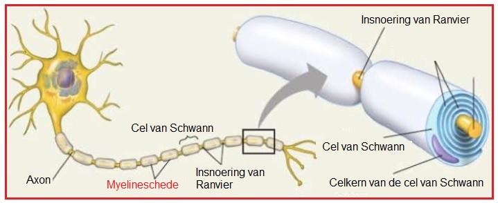 Afbeeldingsresultaat voor myelineschede