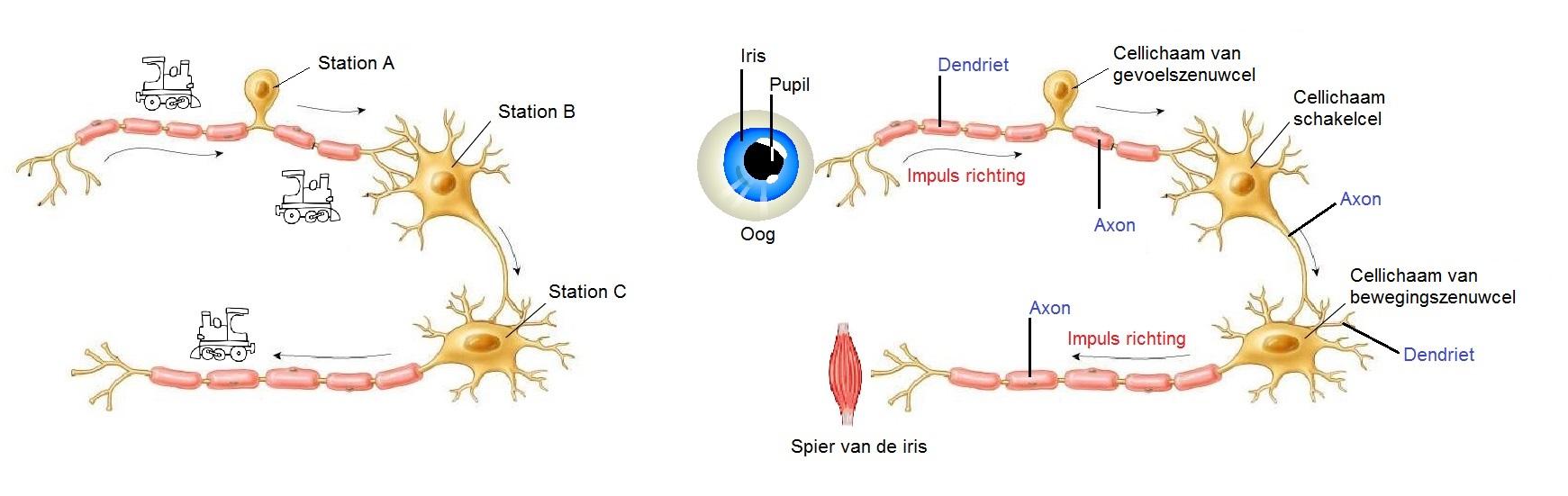 Het Zenuwstelsel