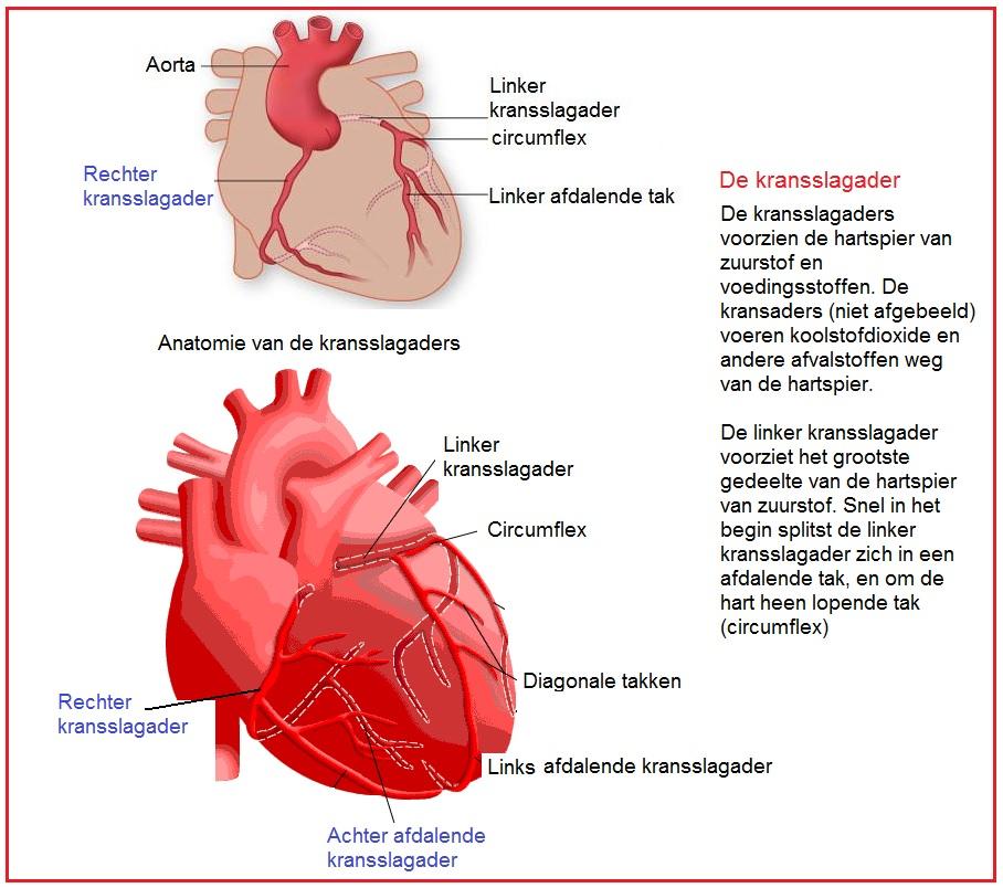 hoeveel kransslagaders heeft het hart
