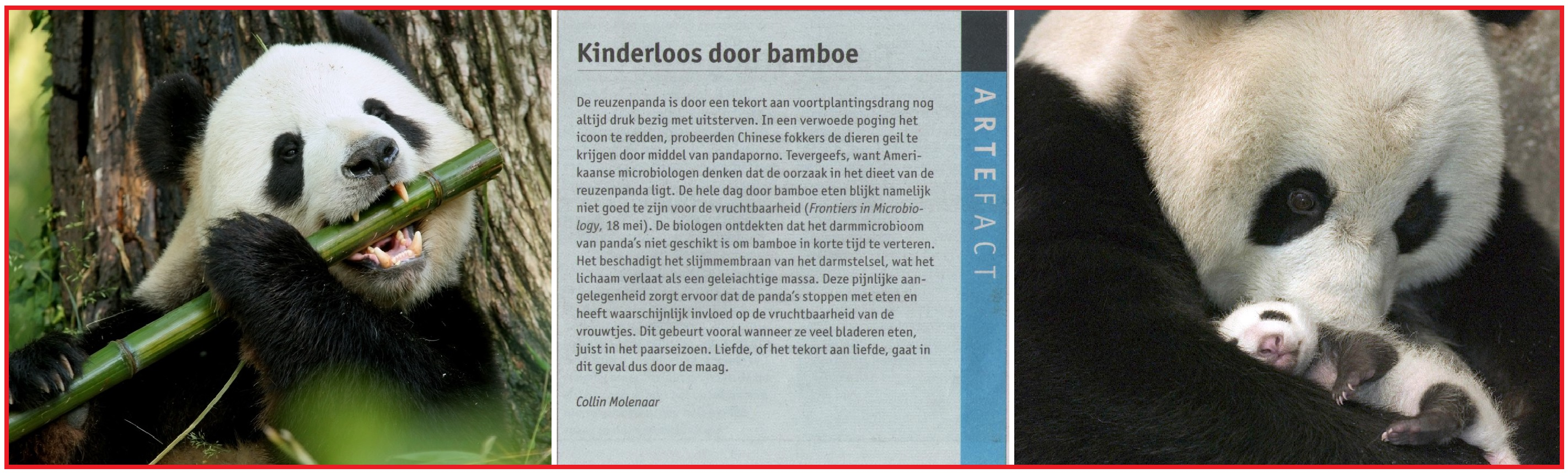 Kinderloosdoorbamboe